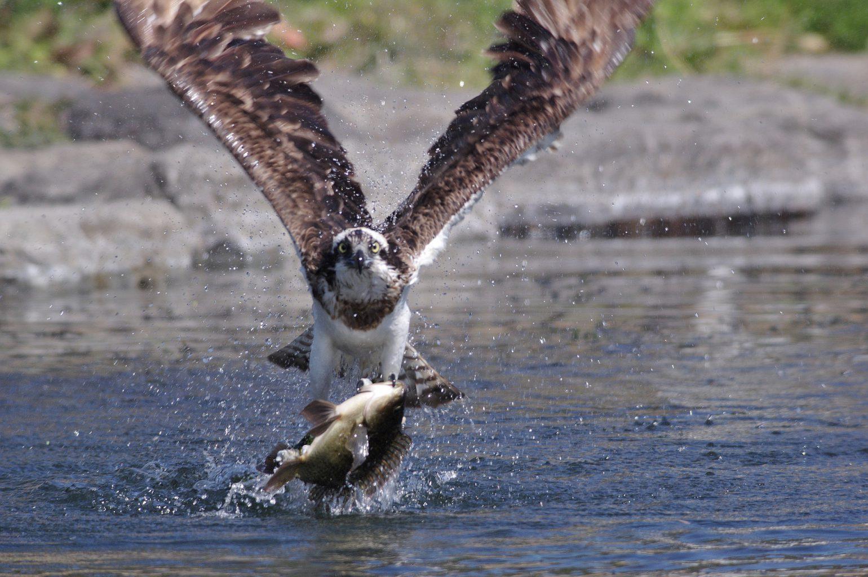 AFボーグ BORG71FLで撮影した野鳥・ミサゴのダイブシーン写真画像