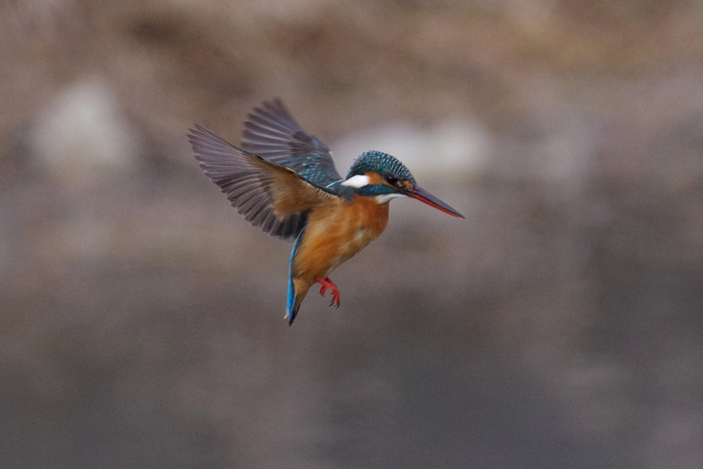 AFボーグ BORG71FLで撮影した野鳥・カワセミのホバリング写真画像