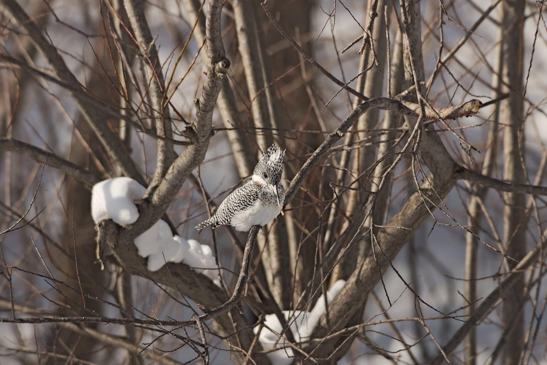 AFボーグ BORG71FLで撮影した野鳥・ヤマセミの写真画像