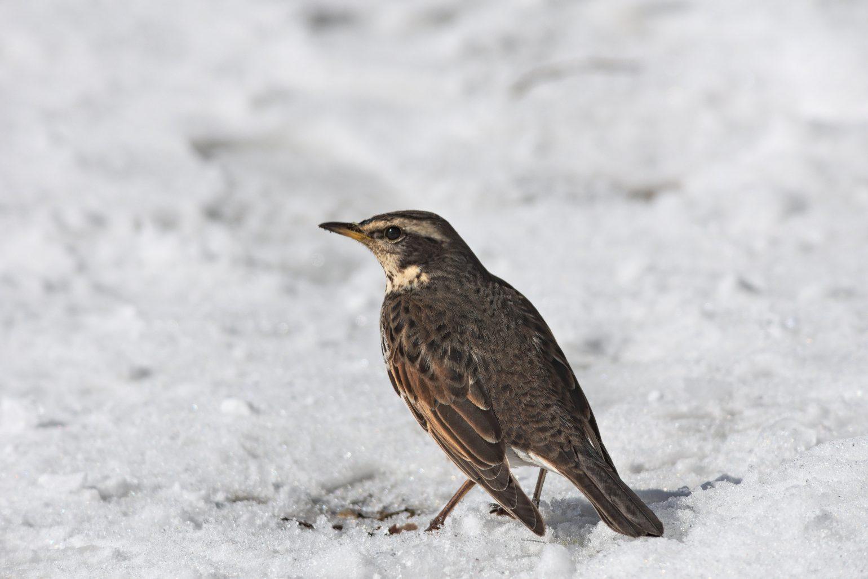 AFボーグ BORG71FLで撮影した野鳥・ツグミの写真画像