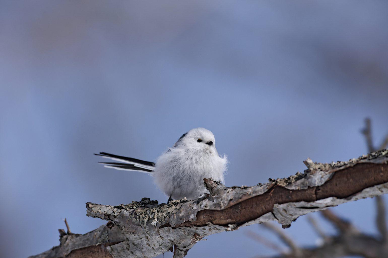 AFボーグ BORG71FLで撮影した野鳥・シマエナガの写真画像