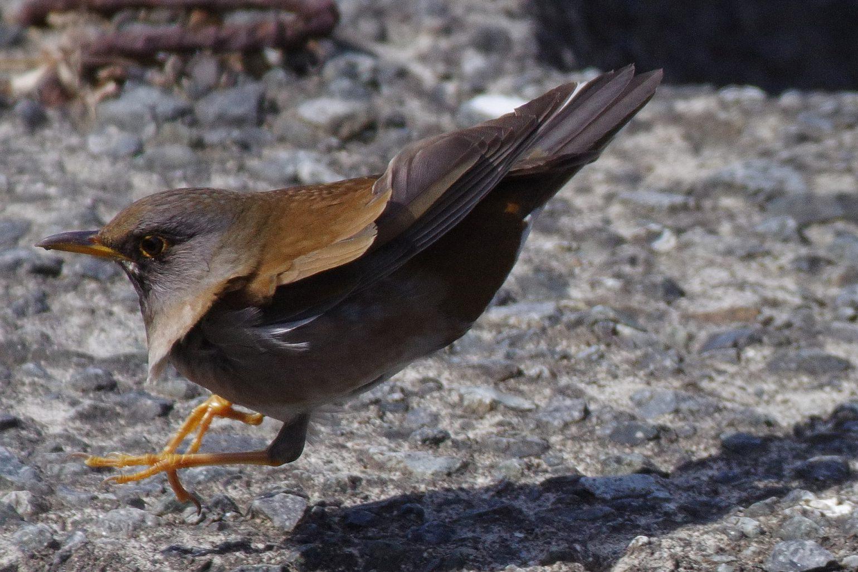 AFボーグ BORG71FLで撮影した野鳥・シロハラの飛翔写真画像(トビモノ)
