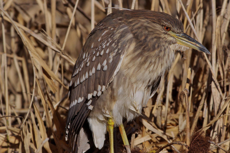 AFボーグ BORG71FLで撮影した野鳥・ヨシゴイの写真画像