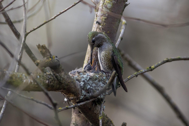 AFボーグ BORG90FLで撮影した野鳥・アンナハチドリの写真画像