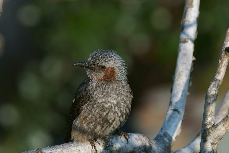 BORG90FLで撮影した野鳥・ヒヨドリの写真画像