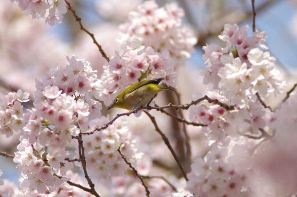 桜に止まるとメジロの野鳥写真画像