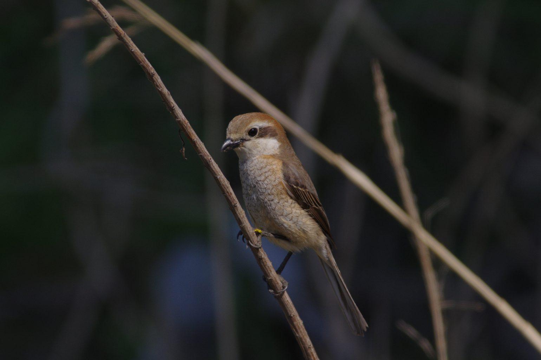 AFボーグ BORG90FLで撮影した野鳥・モズの写真画像