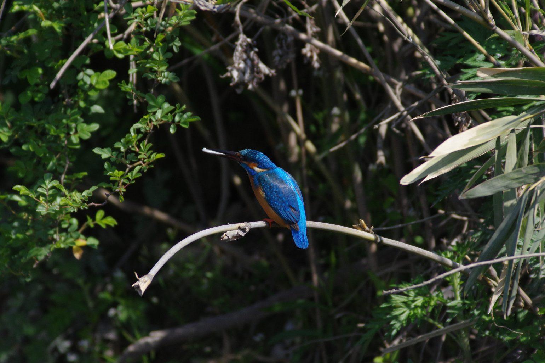 AFボーグ BORG90FLで撮影した野鳥・カワセミの写真画像