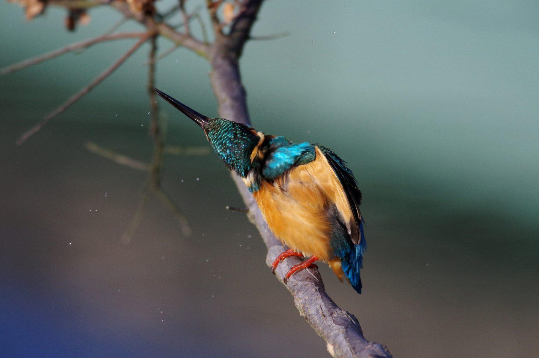 BORGで撮影した野鳥・カワセミの写真画像
