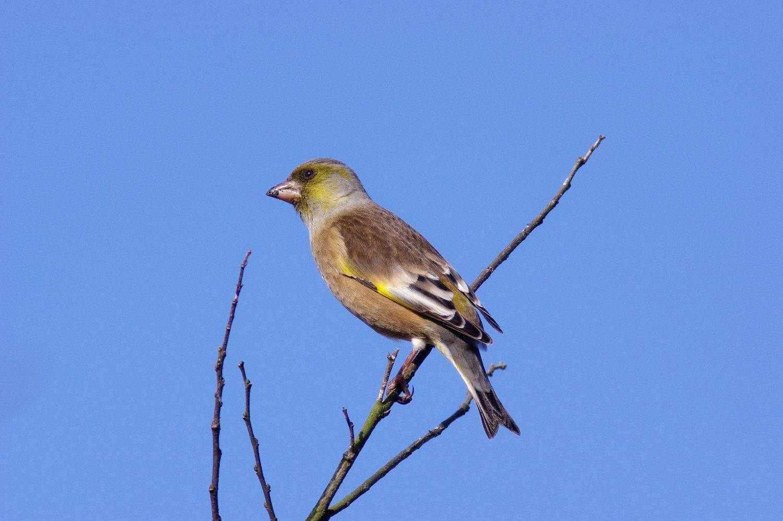 BORGで撮影した野鳥・カワラヒワの写真画像