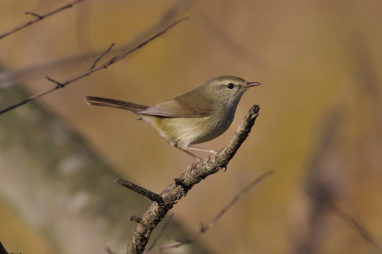 BORGで撮影した野鳥・ウグイスの写真画像