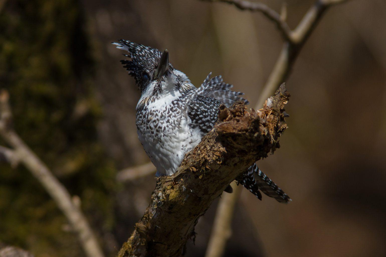AFボーグ BORG90FLで撮影した野鳥・ヤマセミの写真画像
