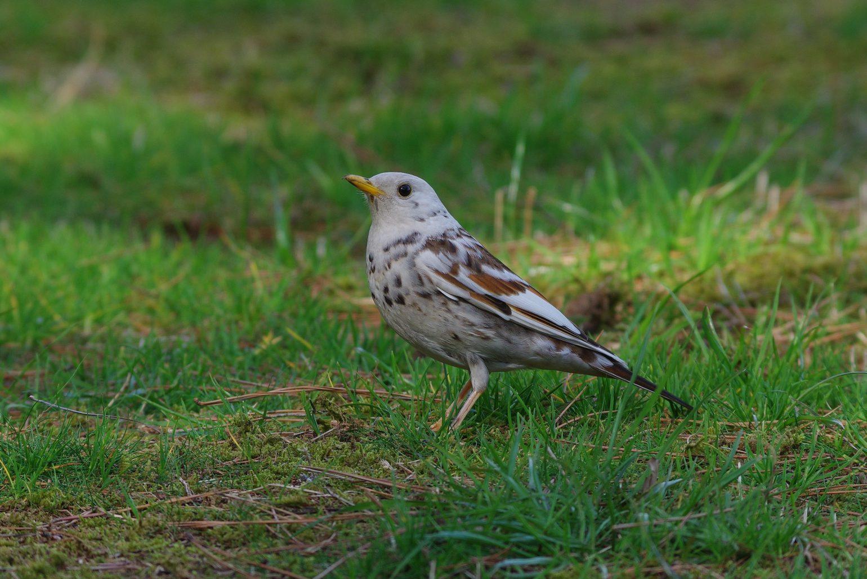BORG71FLで撮影した野鳥・白いツグミの写真画像
