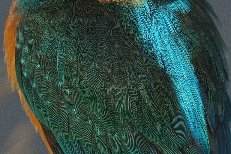 CAPRI-80EDで撮影したカワセミの野鳥写真画像