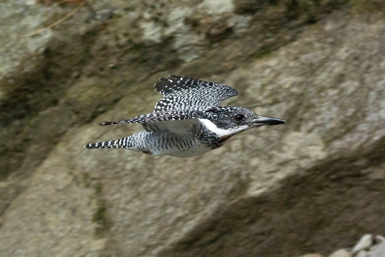 ヤマセミ飛翔写真