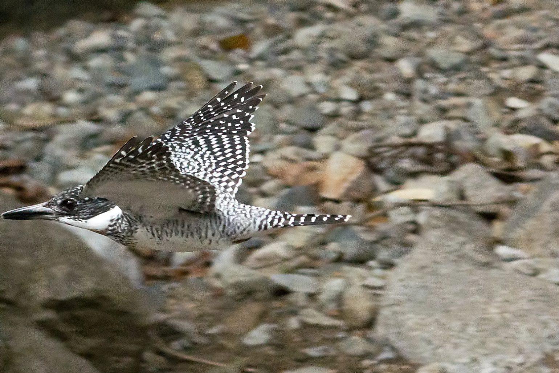 BORG45EDⅡで撮影した野鳥・ヤマセミ飛翔写真画像