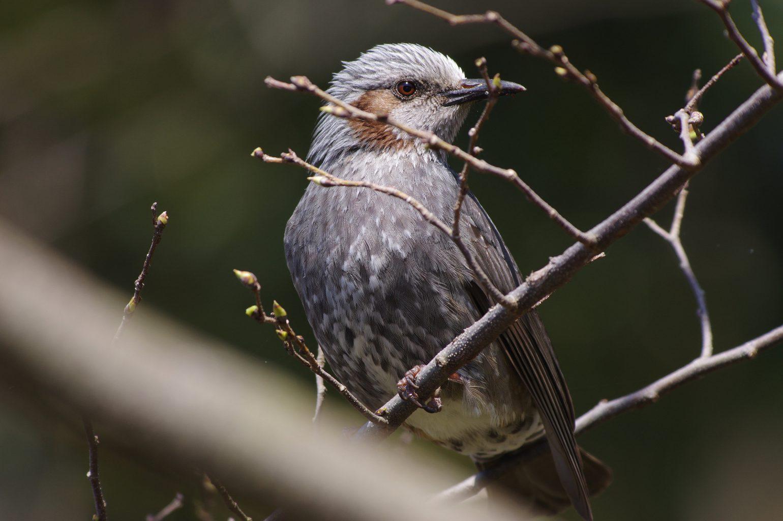 AFボーグ BORG71FLで撮影した野鳥・ヒヨドリの写真画像