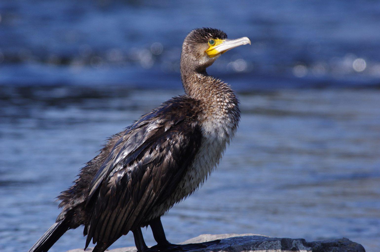 AFボーグ BORG71FLで撮影した野鳥・カワウの写真画像