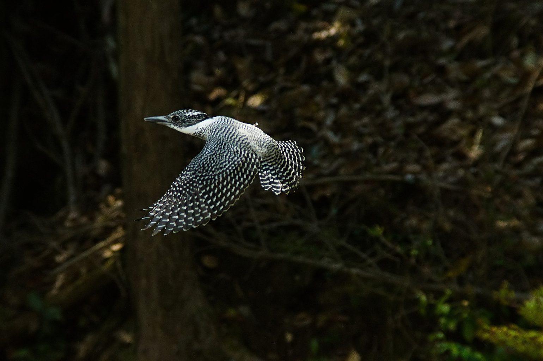 BORG71FLで撮影した野鳥・ヤマセミの飛翔写真画像