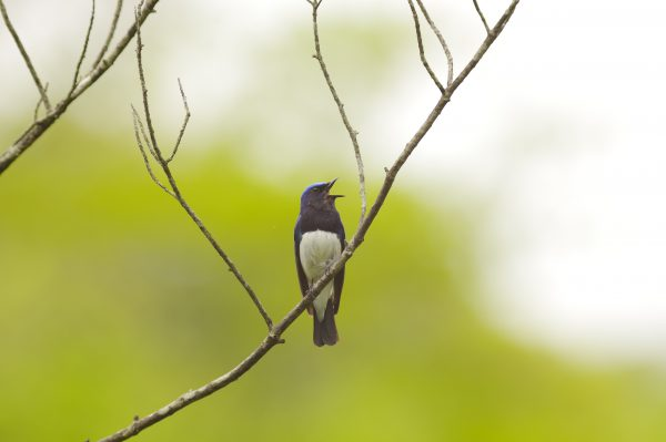 野鳥・オオルリ
