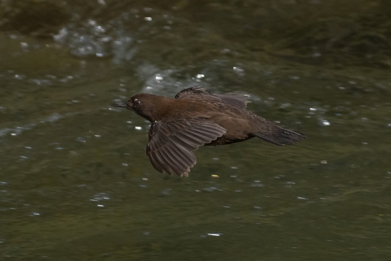 BORG71FLで撮影した野鳥・カワガラスの飛翔写真画像