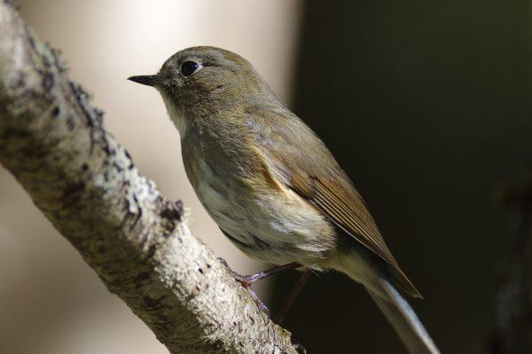 野鳥・ルリビタキ