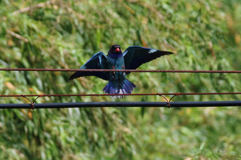 BORG90FLで撮影した野鳥・ブッポウソウの写真画像