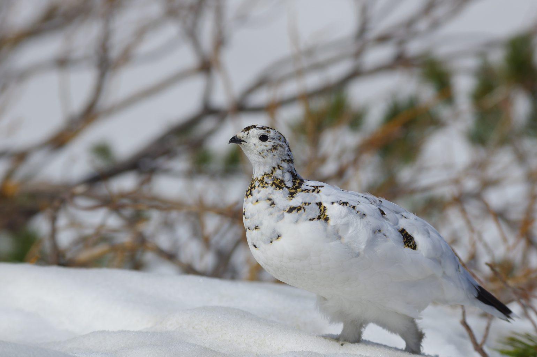 BORG90FLで撮影した野鳥・ライチョウの写真画像
