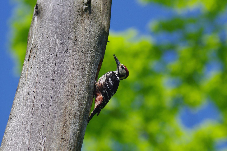 BORG90FLで撮影した野鳥・オオアカゲラの写真画像