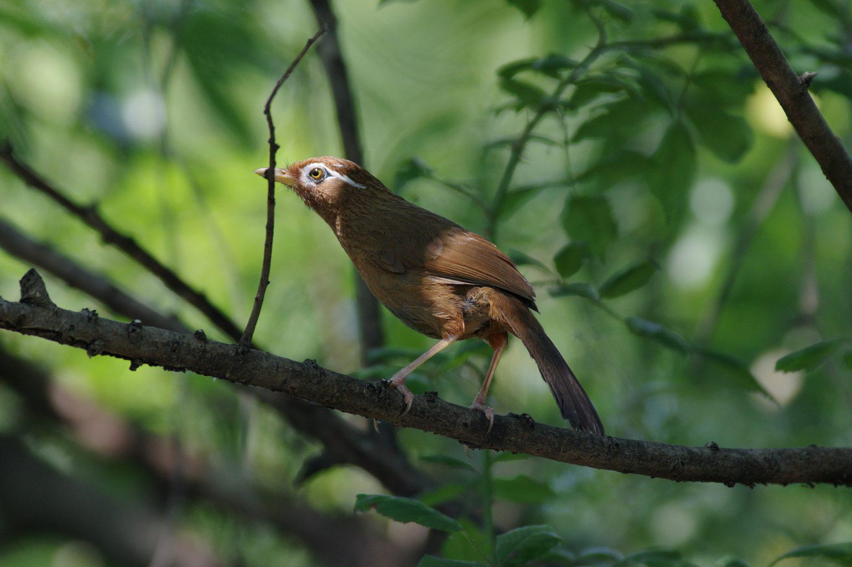 AFボーグ BORG90FLで撮影した野鳥・ガビチョウの写真画像