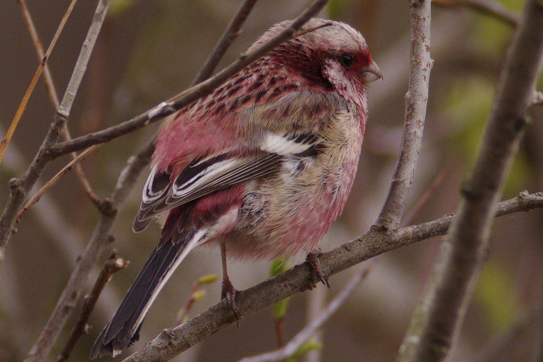 BORG77EDⅡで撮影した野鳥・オオマシコの写真画像