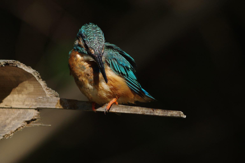 BORG89EDで撮影した野鳥・カワセミの写真画像