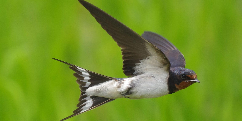 BORGで撮影した野鳥・ツバメの写真画像