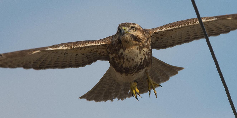 BORGで撮影した野鳥・ノスリの写真画像