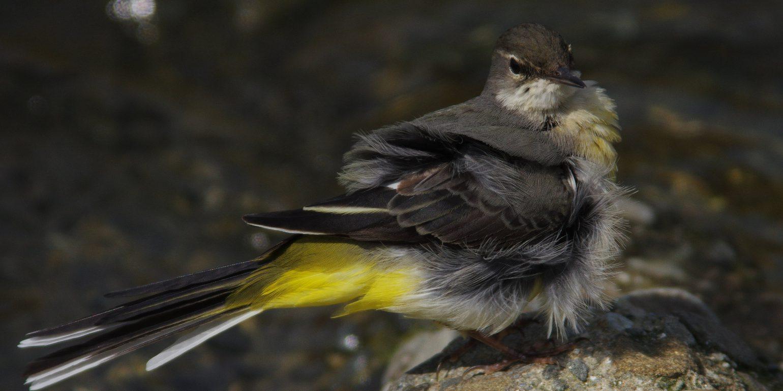 BORGで撮影した野鳥・キセキレイの写真画像