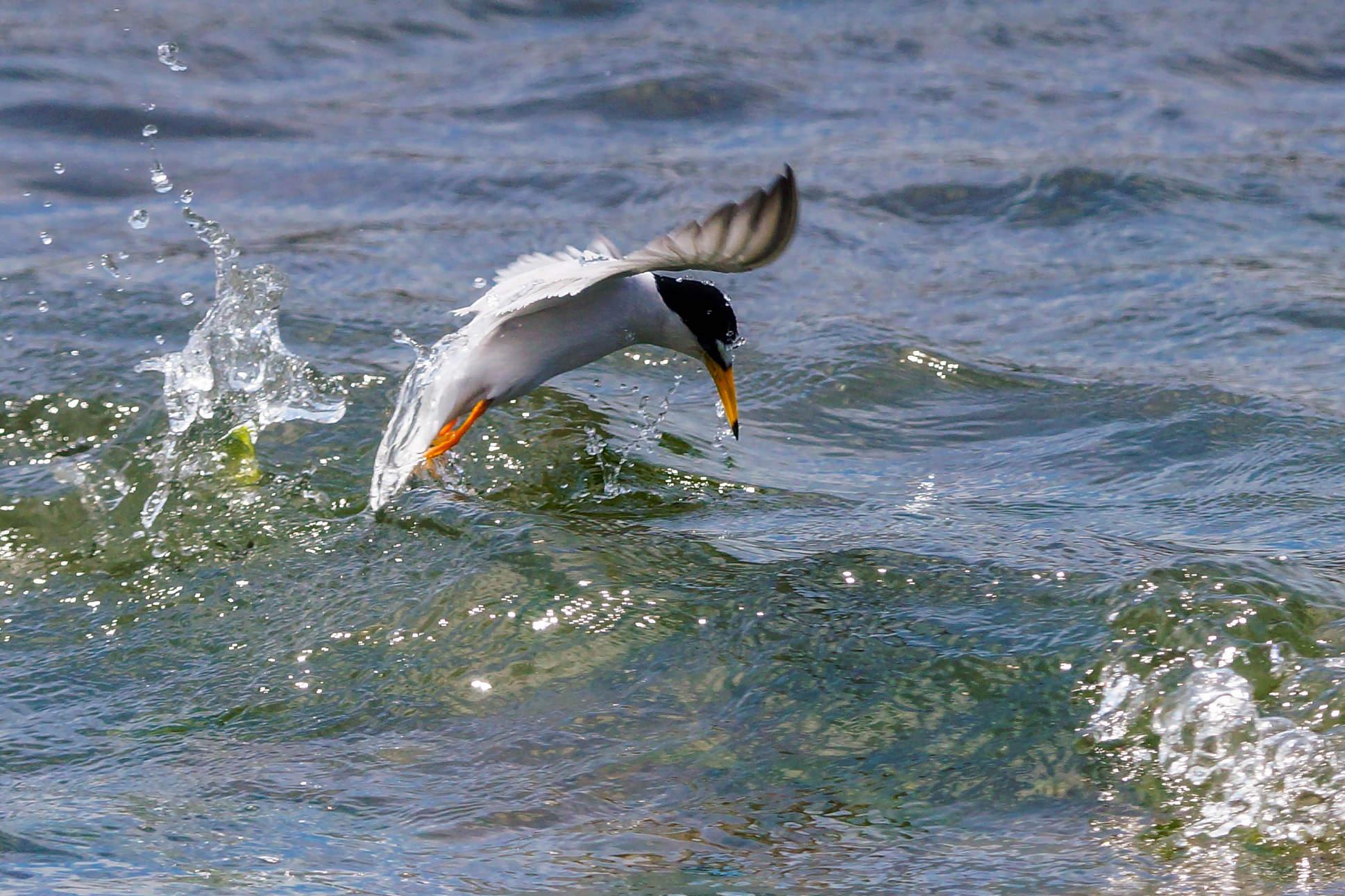 コアジサシのダイブ着水後の写真画像