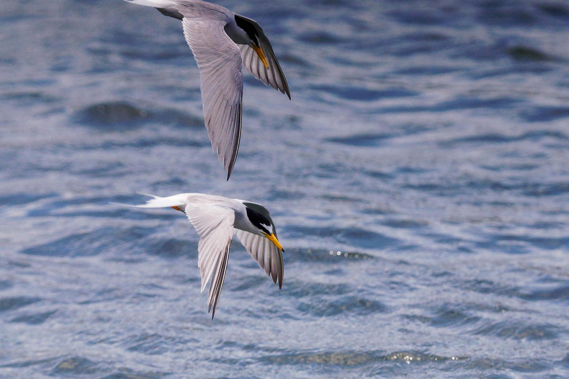 コアジサシの飛翔シーン 二羽 写真画像