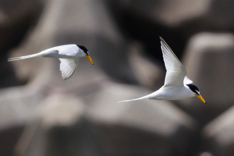 コアジサシの飛翔シーンの写真画像