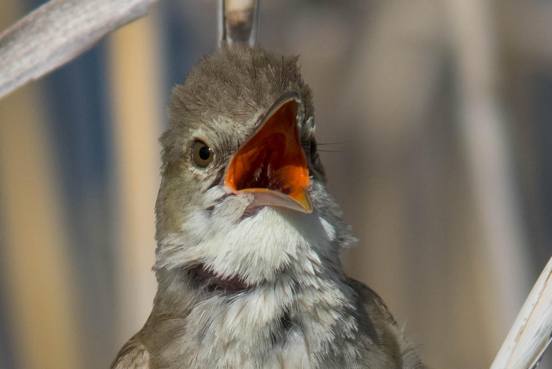 オオヨシキリの赤い口の中の写真画像