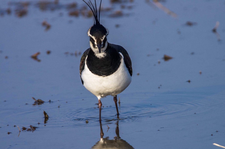 AFボーグ BORG71FLで撮影した野鳥・タゲリの写真画像