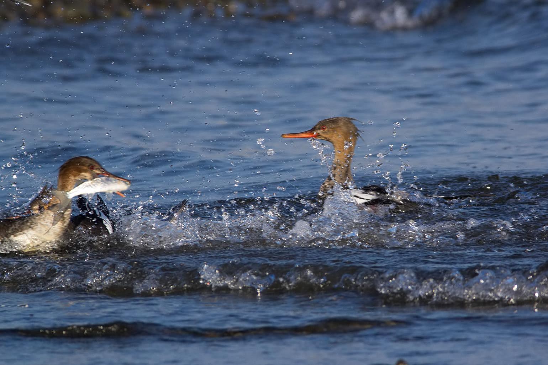 AFボーグ BORG71FLで撮影した野鳥・ウミアイサの写真画像