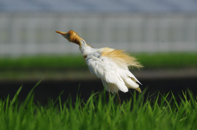 AFボーグ BORG60EDで撮影した野鳥・アマサギの野鳥写真画像