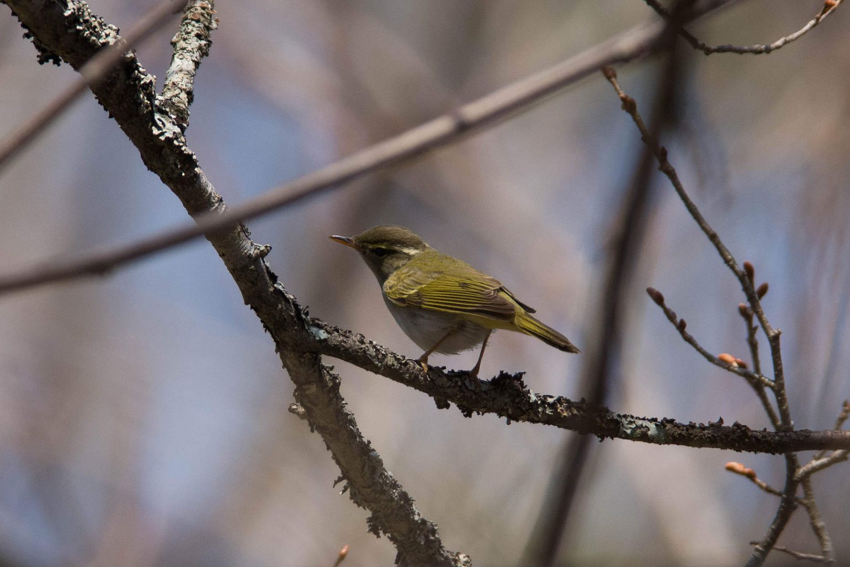 AFボーグ BORG71FLで撮影した野鳥・センダイムシクイの写真画像