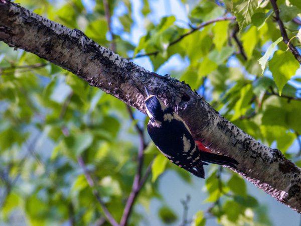 AFボーグ BORG71FLで撮影した野鳥・アカゲラの写真画像