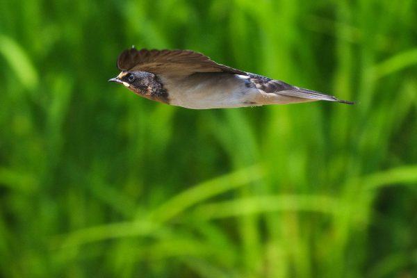 BORGで撮影したツバメの飛翔写真画像