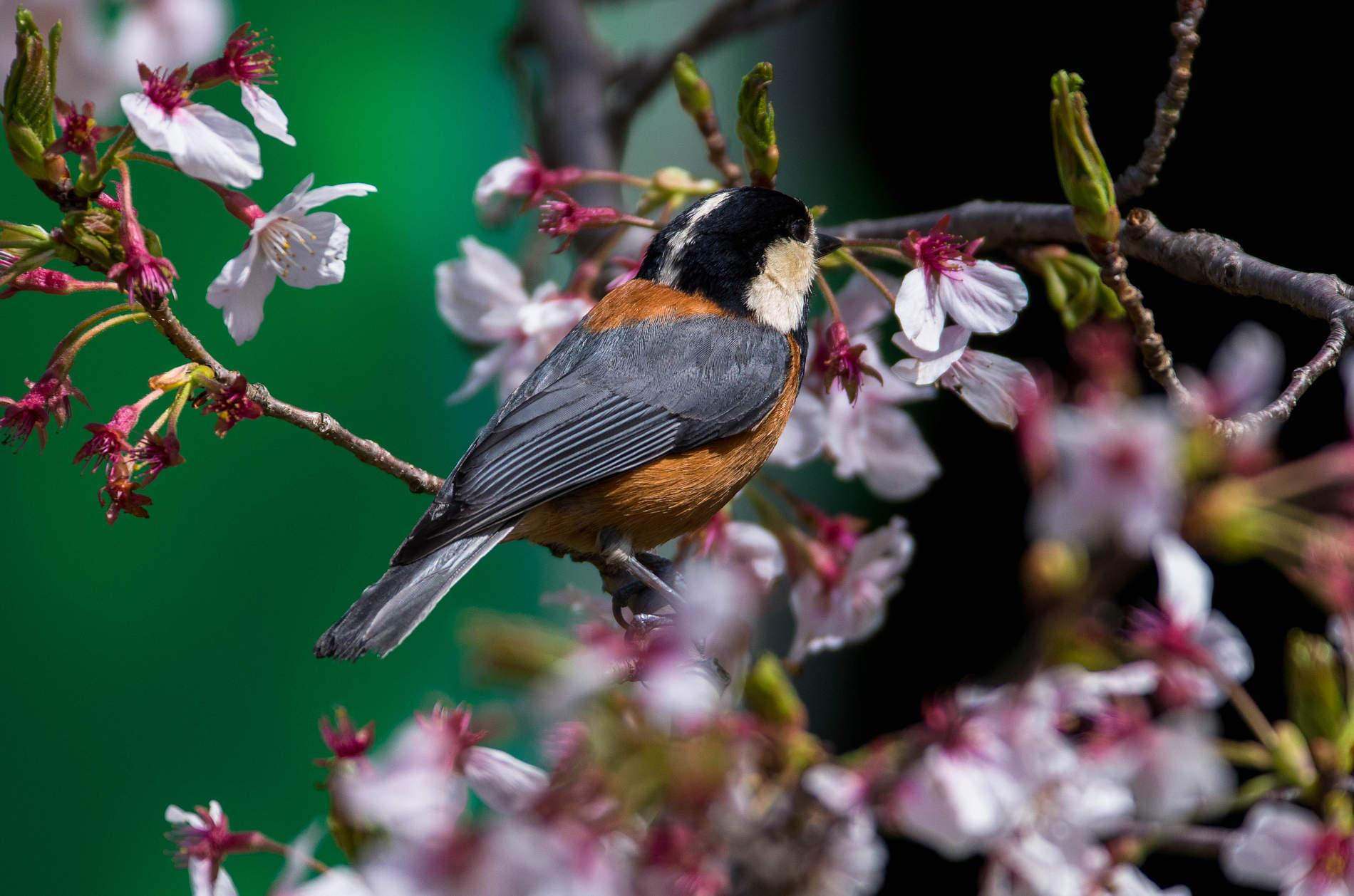 AFボーグ やBORGで撮影した野鳥・ヤマガラの写真画像
