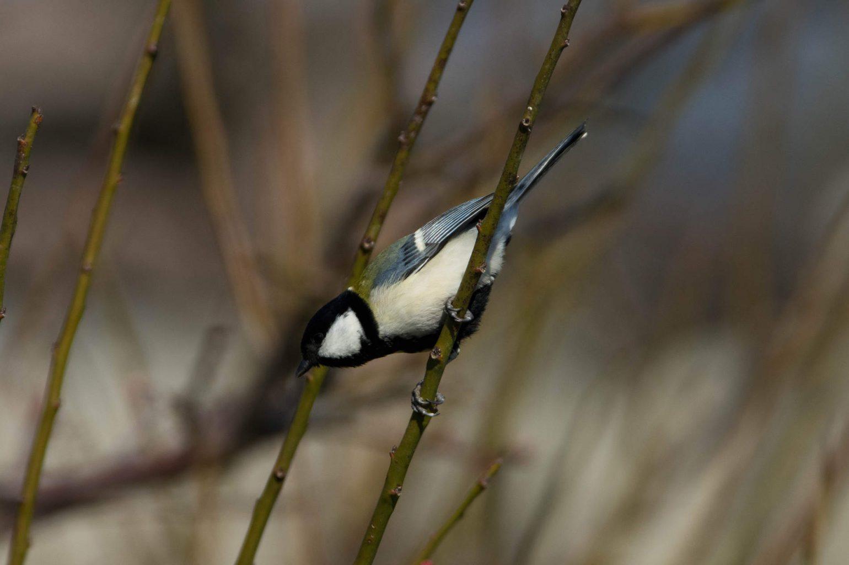 AFボーグ やBORGで撮影した野鳥・シジュウカラの写真画像