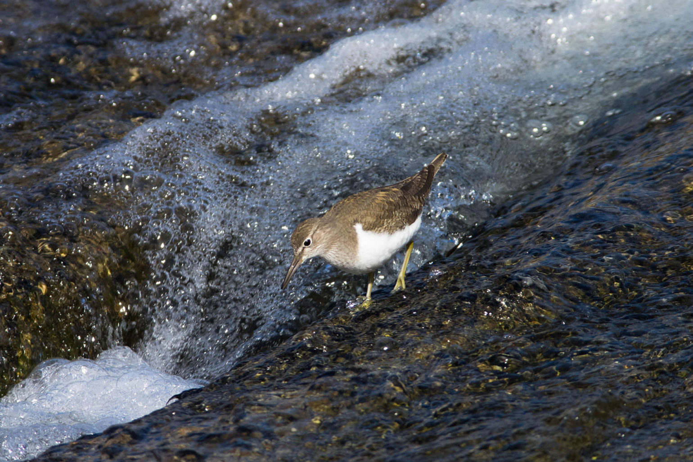 AFボーグ、BORG 71FLで撮影したイソシギの野鳥写真画像